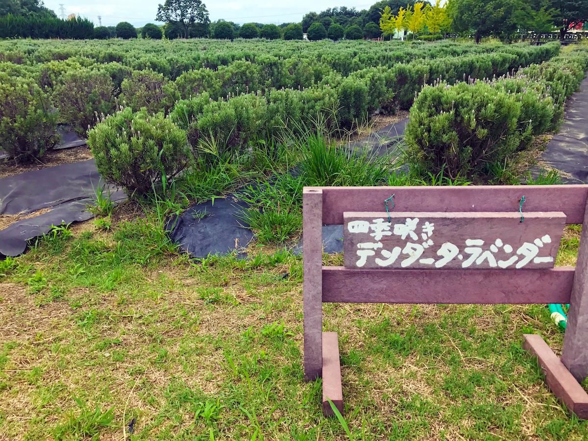和泉リサイクル環境公園のひまわり